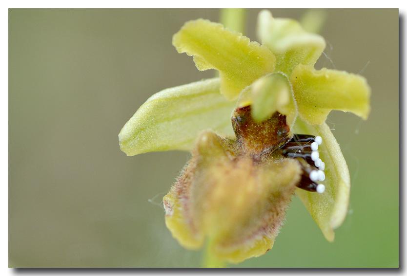 A qui sont ces oeufs ? Ophrys19
