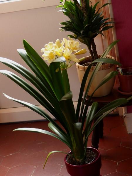 Clivia yellow P1000510