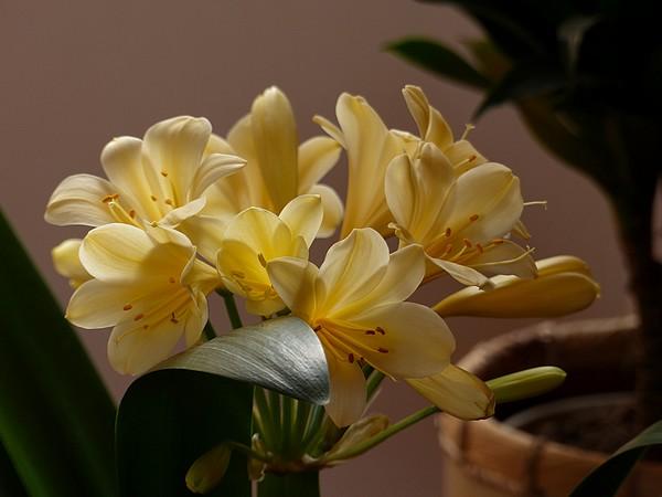 Clivia yellow P1000511