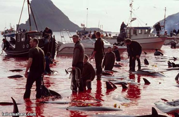 Le massacre des Dauphins Image012