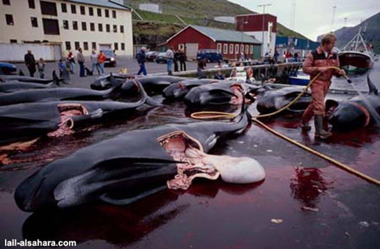 Le massacre des Dauphins Image014