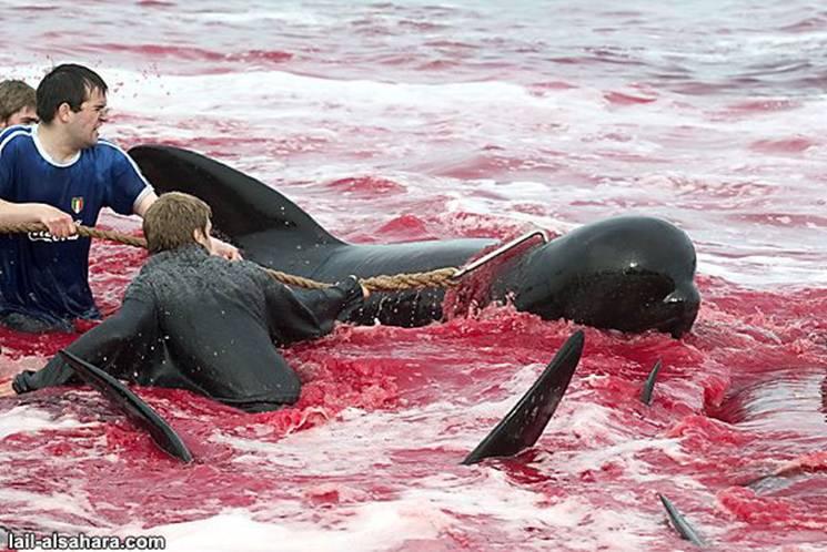 Le massacre des Dauphins Image016