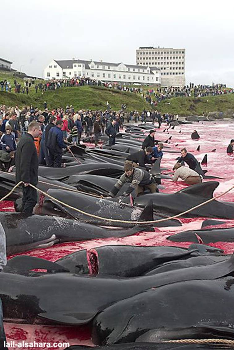 Le massacre des Dauphins Image017