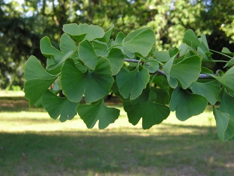 Le ginkgo biloba (extrait de feuilles) 15220310
