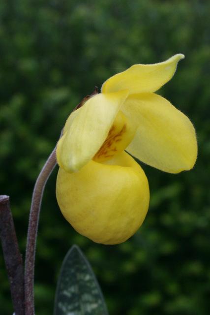 Paphiopedilum armeniacum Img_2110