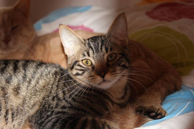 Cicco, mâle, ,07/13, tabby brown, IE 250268711031271 / Catégorie coup de pouce : il attend  depuis trop longtemps une famille 14973510