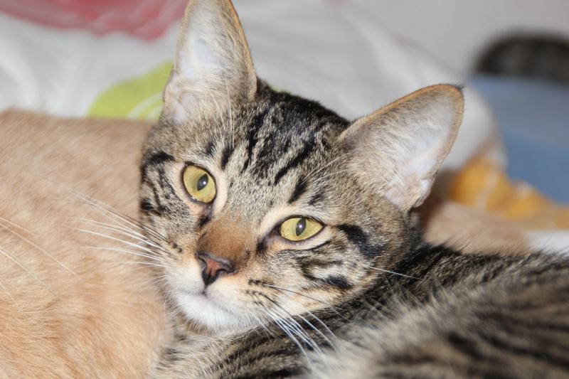Cicco, mâle, ,07/13, tabby brown, IE 250268711031271 / Catégorie coup de pouce : il attend  depuis trop longtemps une famille Cicco10
