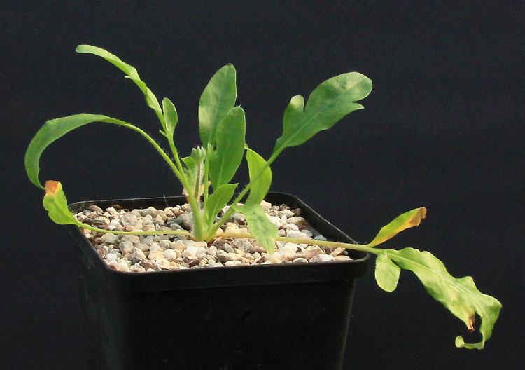 Pelargonium ochroleucum Img_1510
