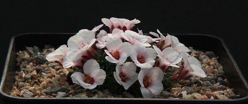 Pelargonium radiatum Img_1910