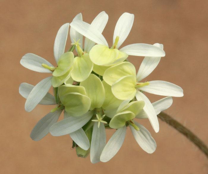 Pelargonium ochroleucum Img_2110