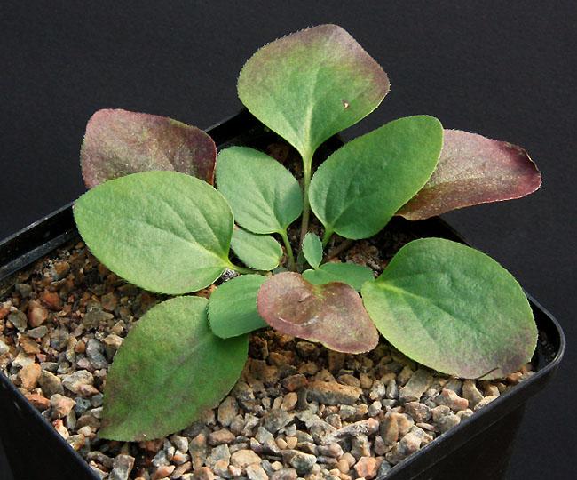Pelargonium radiatum Img_2210