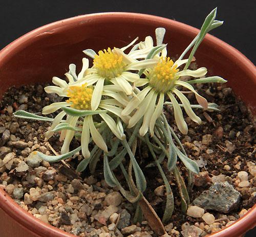Pelargonium radiatum Img_2711