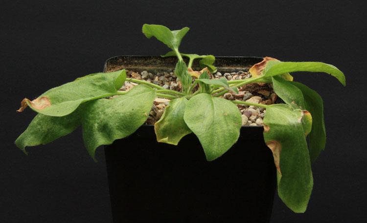 Pelargonium campestre Img_2712