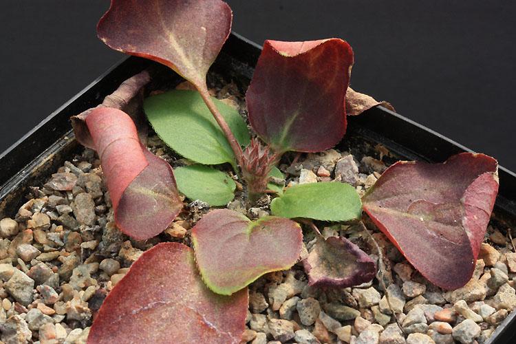 Pelargonium radiatum Img_2810