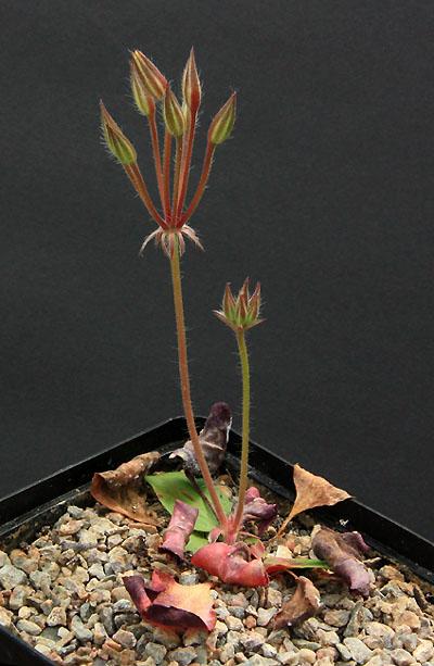 Pelargonium radiatum Img_3610