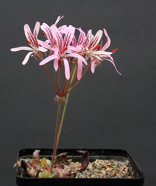 Pelargonium radiatum Img_3811