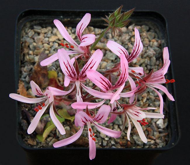 Pelargonium radiatum Img_3813