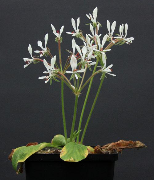 Pelargonium campestre Img_3814