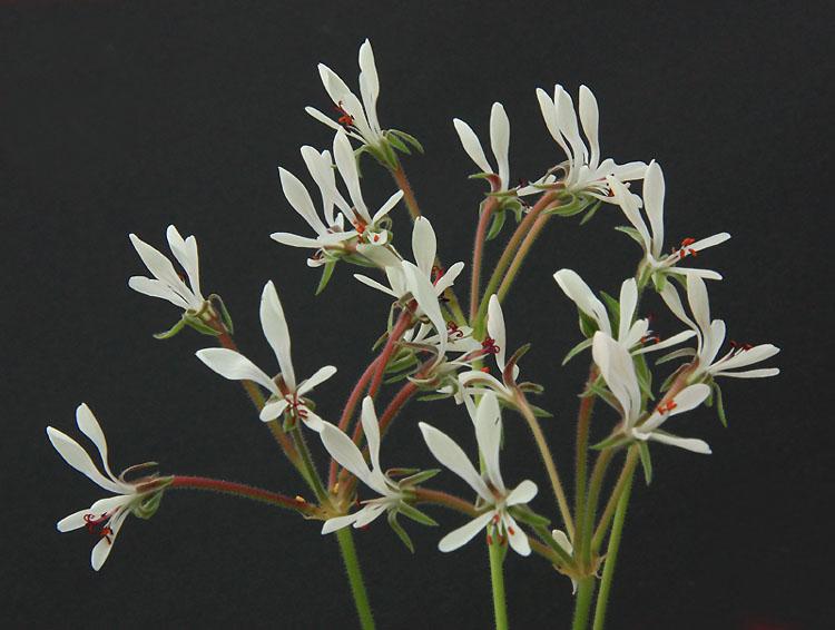 Pelargonium campestre Img_3816