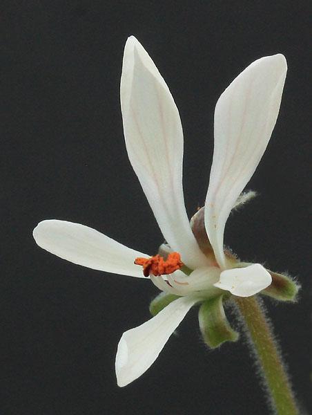 Pelargonium campestre Img_3817