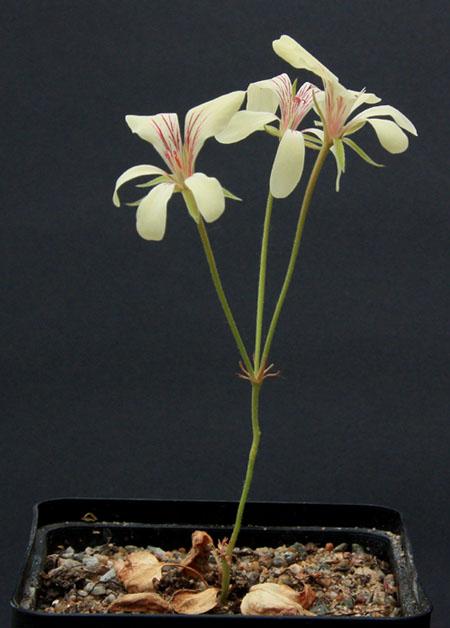 Pelargonium fissifolium Img_3910