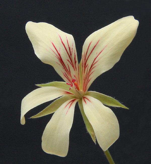Pelargonium fissifolium Img_3911