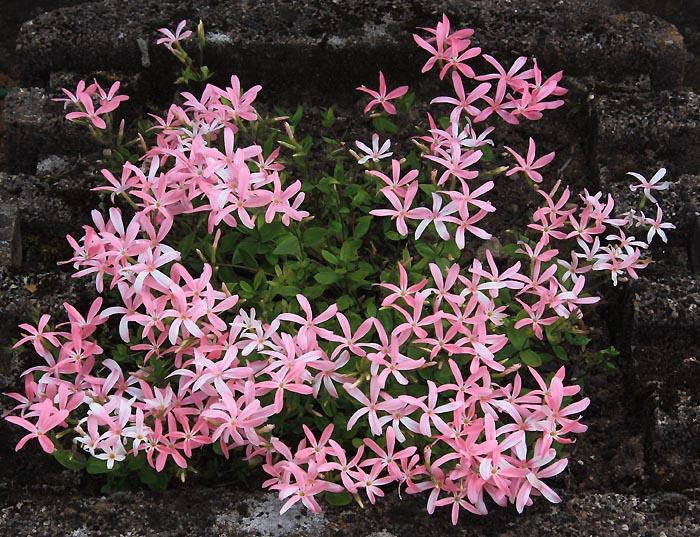 Pelargonium radiatum Img_3912