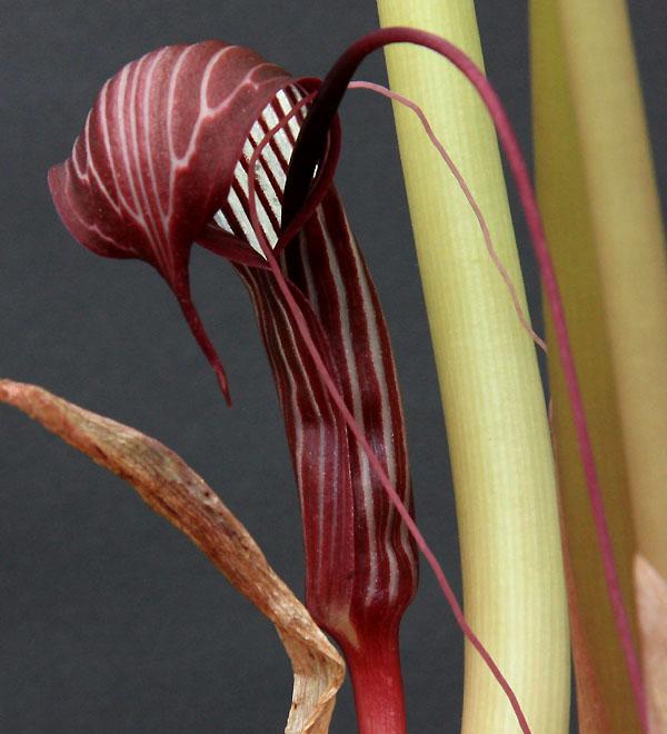 Pelargonium radiatum Img_4015