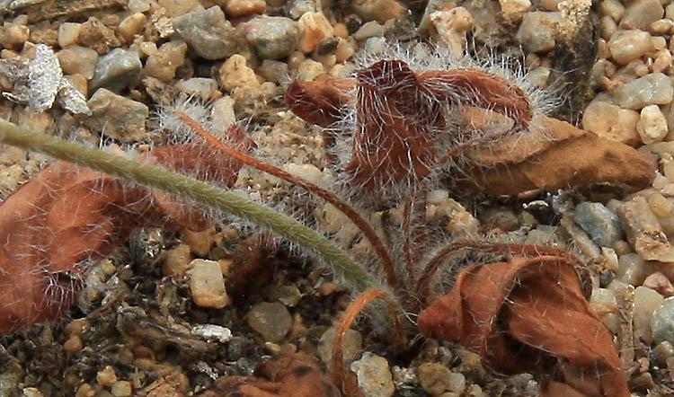 Pelargonium ellaphieae Img_4017