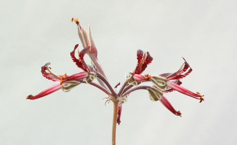 Pelargonium ellaphieae Img_4111