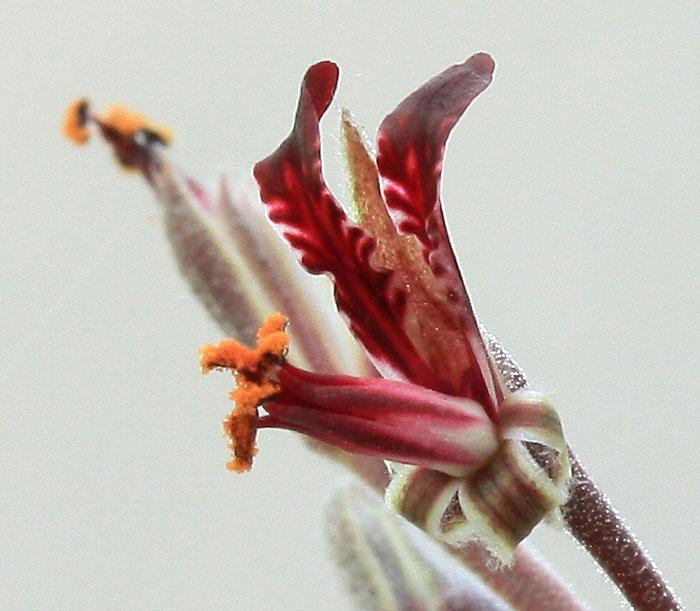 Pelargonium ellaphieae Img_4112