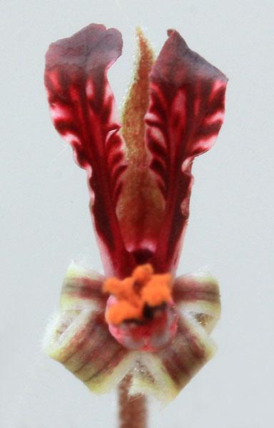 Pelargonium ellaphieae Img_4113