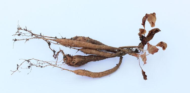 Pelargonium ellaphieae Img_4114