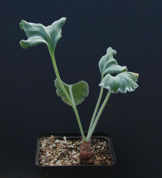 Pelargonium crassicaule Img_4210