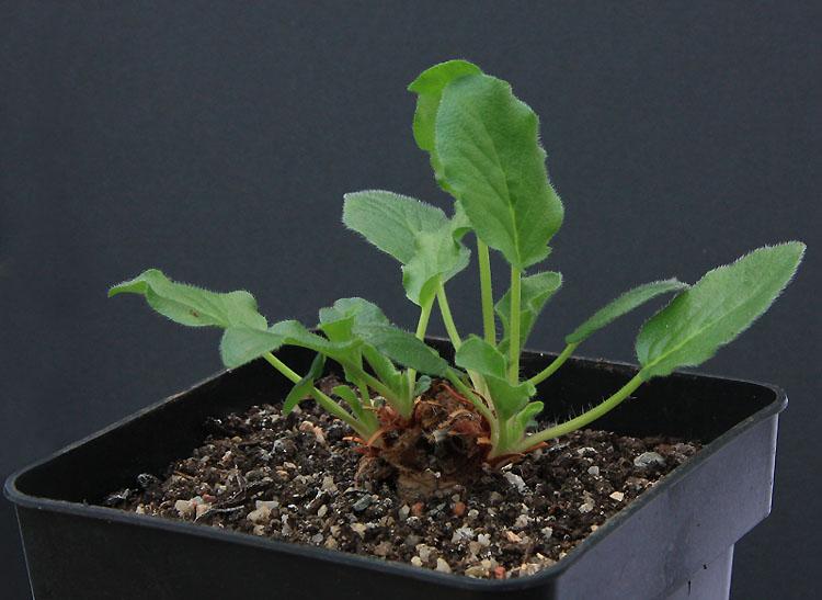 Pelargonium fissifolium Img_4510