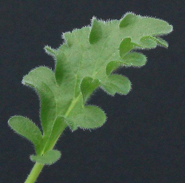 Pelargonium fissifolium Img_4512