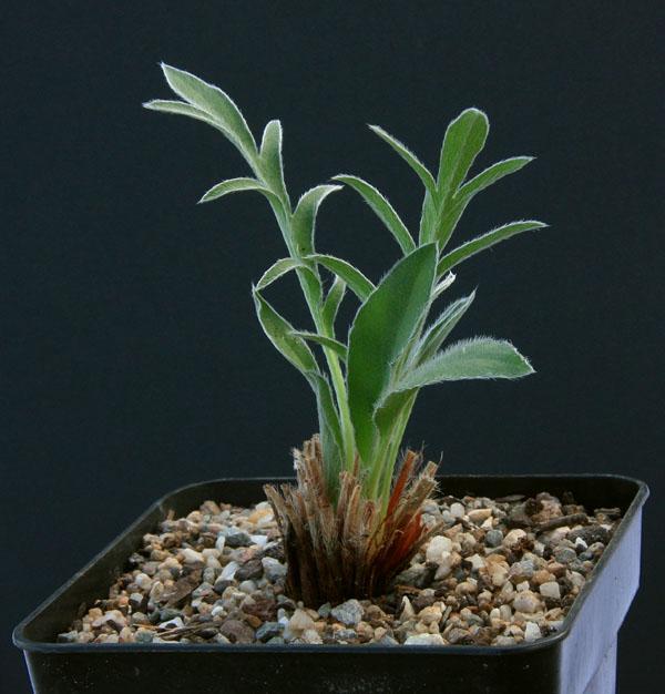 Pelargonium fissifolium Img_4711