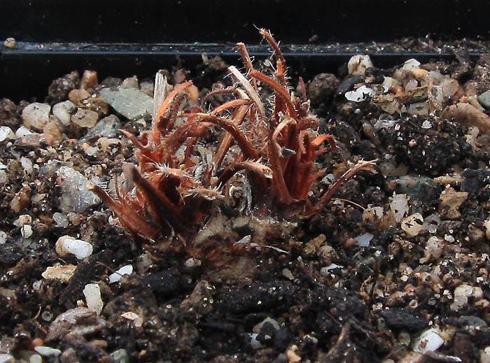 Pelargonium fissifolium Img_4713