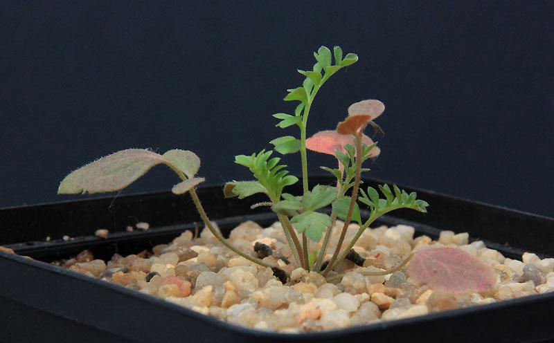 Pelargonium reflexipetalum Img_4714