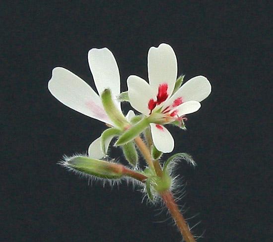 Pelargonium campestre Img_4911