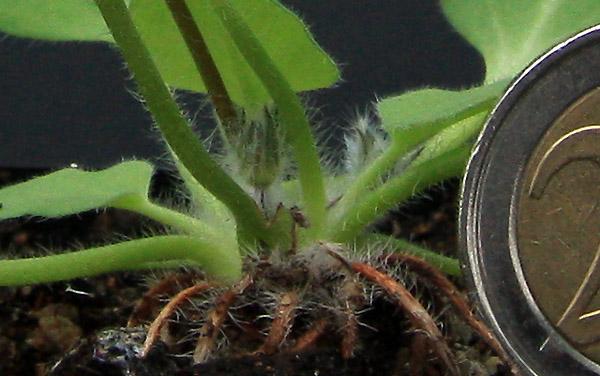 Pelargonium campestre Img_4912
