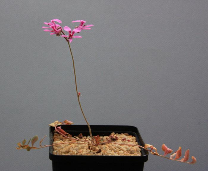 Pelargonium reflexipetalum Img_8010