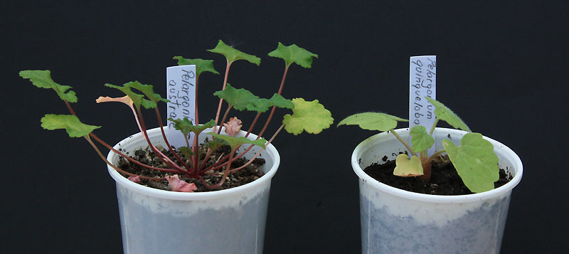 pelargonium: comment les semer? Img_8310