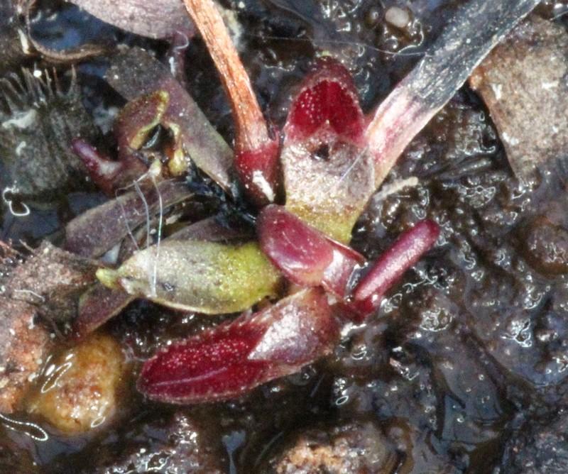 cultivar spotté Red_su10