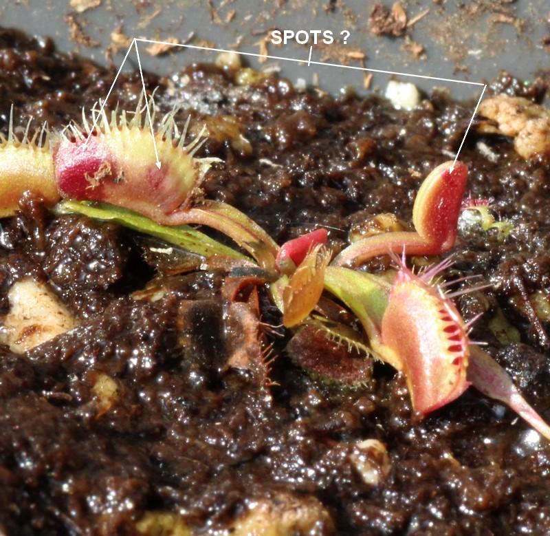 cultivar spotté Spotta10