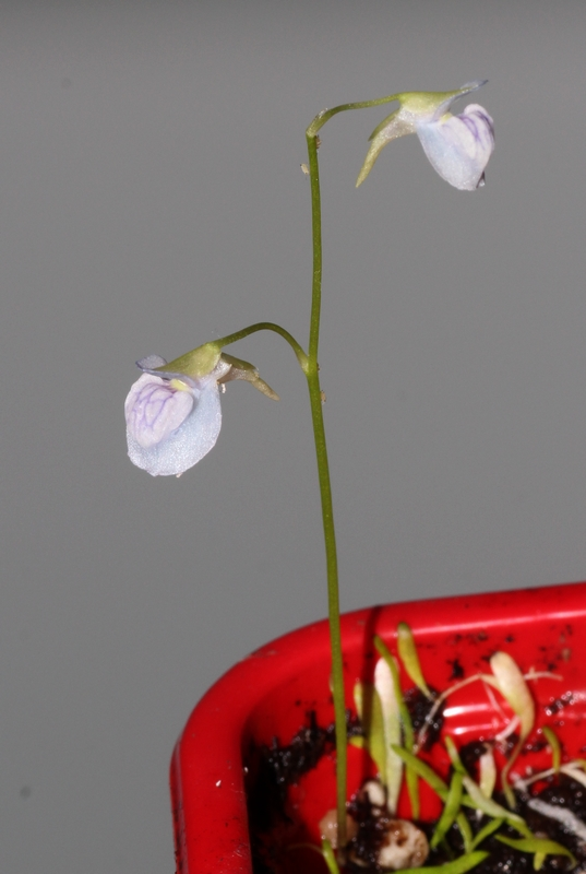 Les fleurs d'Utricularia - Page 2 Utri_110