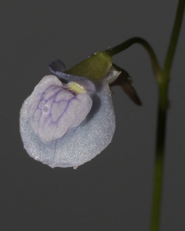 Les fleurs d'Utricularia - Page 2 Utri_310