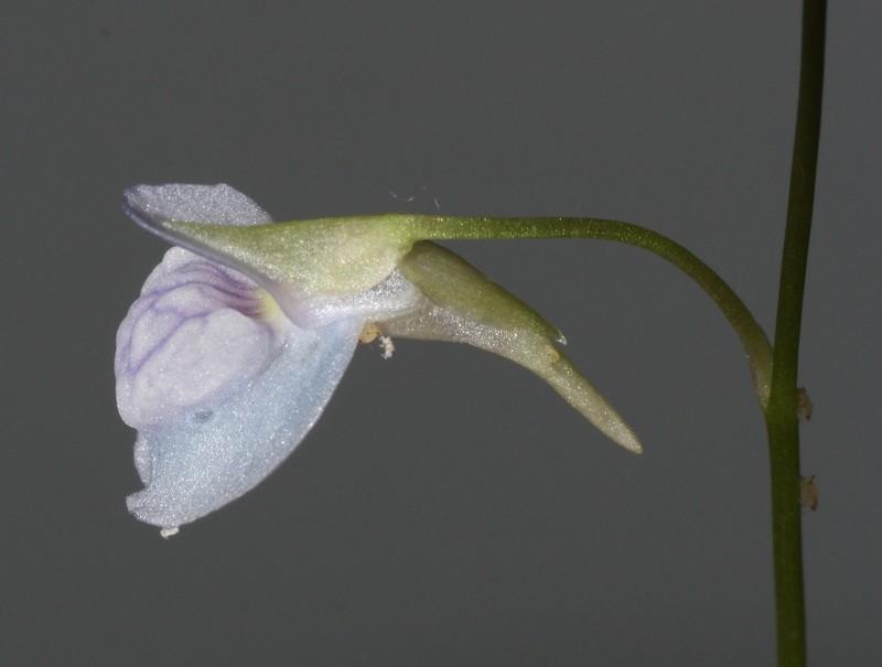 Les fleurs d'Utricularia - Page 2 Utri_410