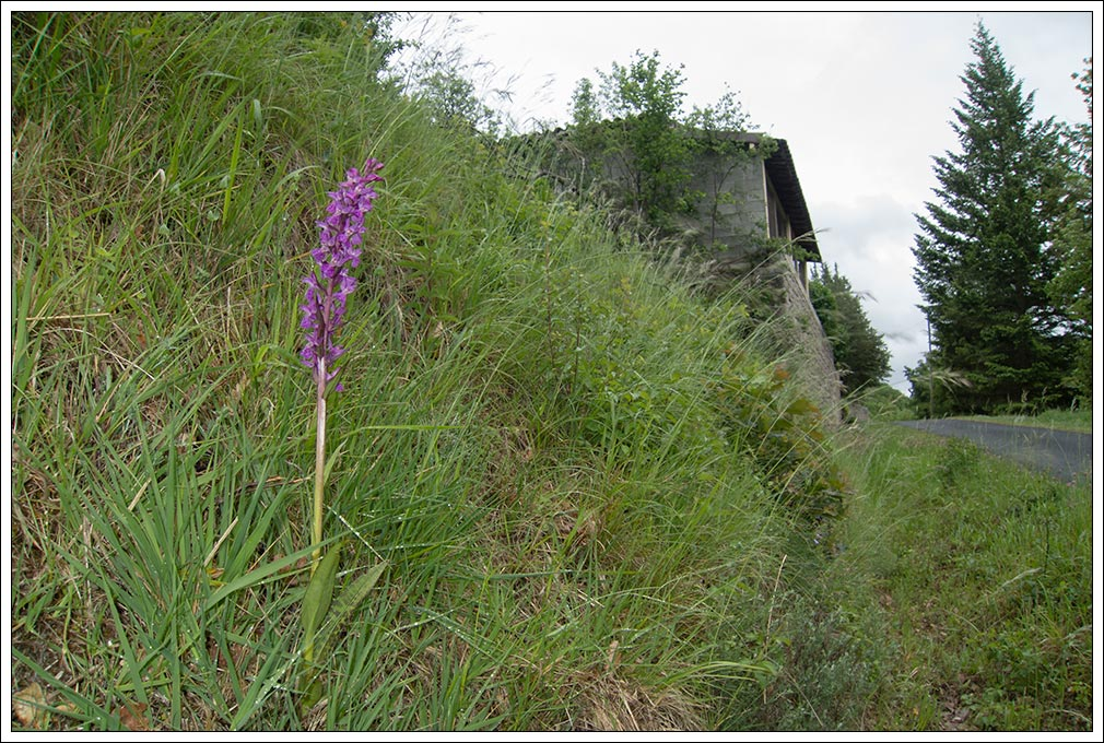 Dactylorhiza elata ( Orchis élevé ) Elata_11