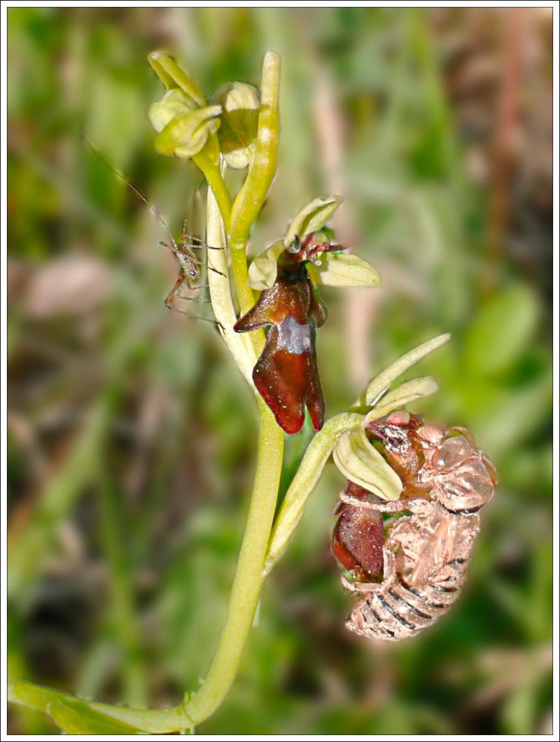 l'insectifera, la sauterelle et l'exuvie Pascal11